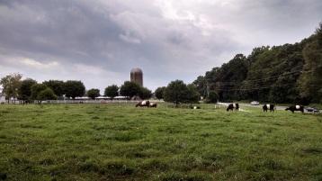 Fearrington Village cows