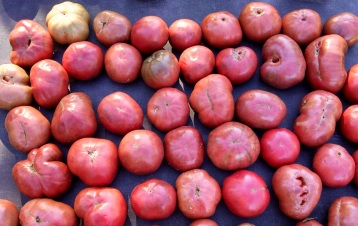 tomatoes from Deep River Greenhouses