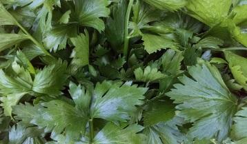 celery from Penny Lane
