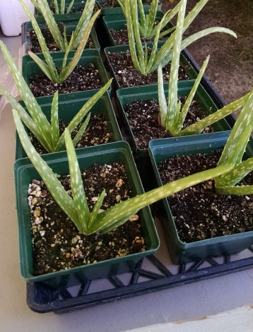 aloe plants from Screech Owl Greenhouses