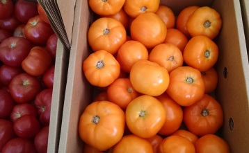 Screech Owl tomatoes