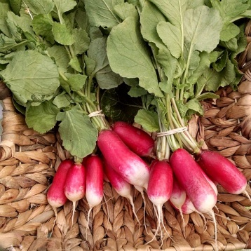 radishes from the Sweet Farm